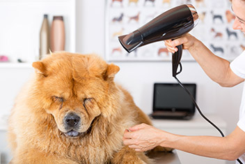 dog hairdrying