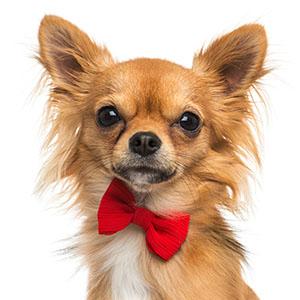 dog with bowtie